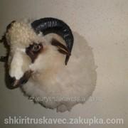 Голова барана, чучело 2 , из кругообразными рогами фото