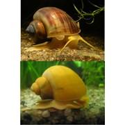 Canal Snail фото
