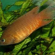 Рыба аквариумная Белонтия - Belontia signata фото
