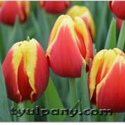Сорт тюльпана DENMARK фото