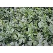 Семена, Сельдерей листовой Эмни, SEMO (50гр) фото