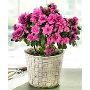 Растения комнатные азалии фото
