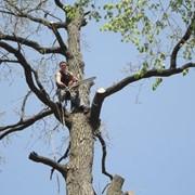 Валка аварийных деревьев с привлечением промышленных альпинистов фото