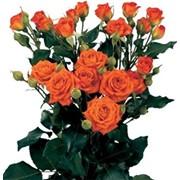 Роза спрей Алегрия фото