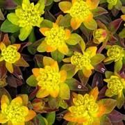 Молочай многоцветный (Euphorbia polychroma) фото