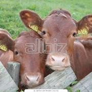 Телята крупного рогатого скота фото
