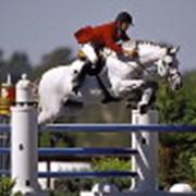 Лошади для конкура фото