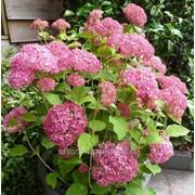 Гортензия Hydrangea pan. Vanille-Fraise Renhy C20 фото