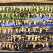 Пчеломатки от производителя Украина фото