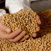 Соевый шрот, соевый жмых, масло растительное нерафинированное фото