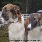 Собаки борзые фото