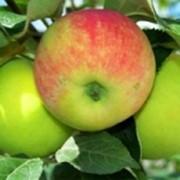 Яблоня Грушовка фото