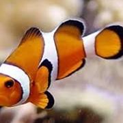 Рыба Клоун оцеллярис фото