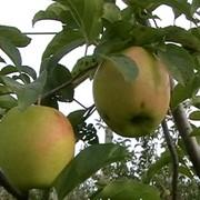 Яблоки Golden delicious фото
