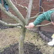 Обработка плодовых деревьев фото
