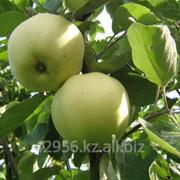 Саженцы яблонь Папировка бирка №51 фото