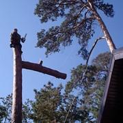 Зрізання аварійних дерев.Київ і обл. фото