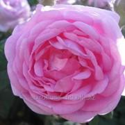 Роза чайная Принцесса Александра фото