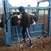 Станок для фиксации скота фото