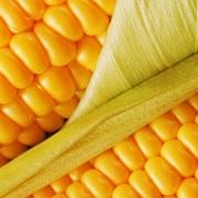 НЕРИССА- Ранний гибрид кукурузы от компании СИНГЕН фото