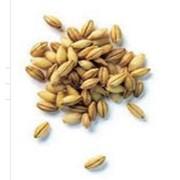 Пшеница третьего класса. фото