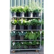 Хвойные -- Conifers фото