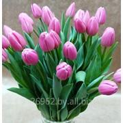 Тюльпаны живые фото