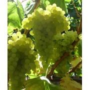 Виноград Кишмиш № 342 Grapes Sultana №342 фото