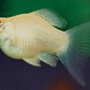 Рыбка аквариумная Пецилия фото