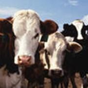 Комбикорма для крупного рогатого скота (КРС)