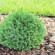 Ель обыкновенная Toмпа (Picea abies Tompa) фото