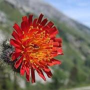 Ястребинка красная (Hieracium rubrum) фото