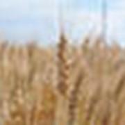 Пшеница Волжская К фото