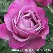 Розы серии 'Романтика' фото