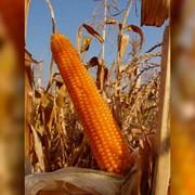 Кукуруза Краснодарский лопающийся 400 фото