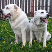 Среднеазиатской овчарки подрощенные щенки фото