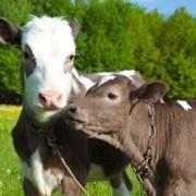 Заменитель цельного молока для телят, фото