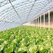 Теплица промышленная для овощей. фото