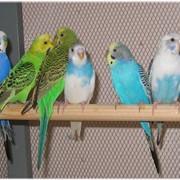 Попугаи волнистые оптом, молодые, подрощенные. Из своего питомника. Здоровые, крепкие, разноцветные. фото