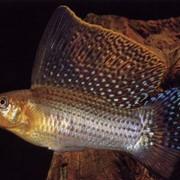 Рыба аквариумная Пецилия латипина - Poecilia latipina фото