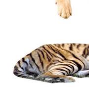 Услуги ветеринарные Киев от компании Уссурийский тигр, ООО фото