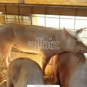 Продаем свиней живым весом фото