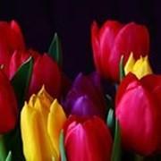 Тюльпаны супер качества по минимальным ценам фото
