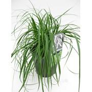 Осока охименская -- Carex Oshimensis фото