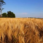 Пшеница сорт Лісова Пісня фото