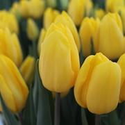 Тюльпаны Strong Gold к 8 марта фото