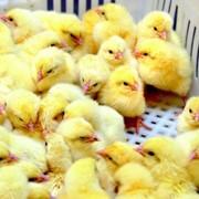 Цыплята бройлера оптом фото