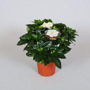 Гардения жасминовая -- Gardenia jasminoides фото