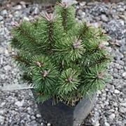 Сосна горная Кокос (Pinus mugo Kokos) фото