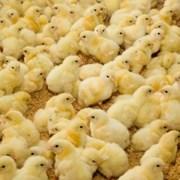 Цыплята-бройлеры  7-10 дневные на доращивание фото